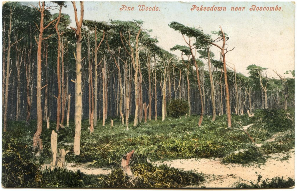 colourised postcard showing pine woods at Pokesdown near Boscombe